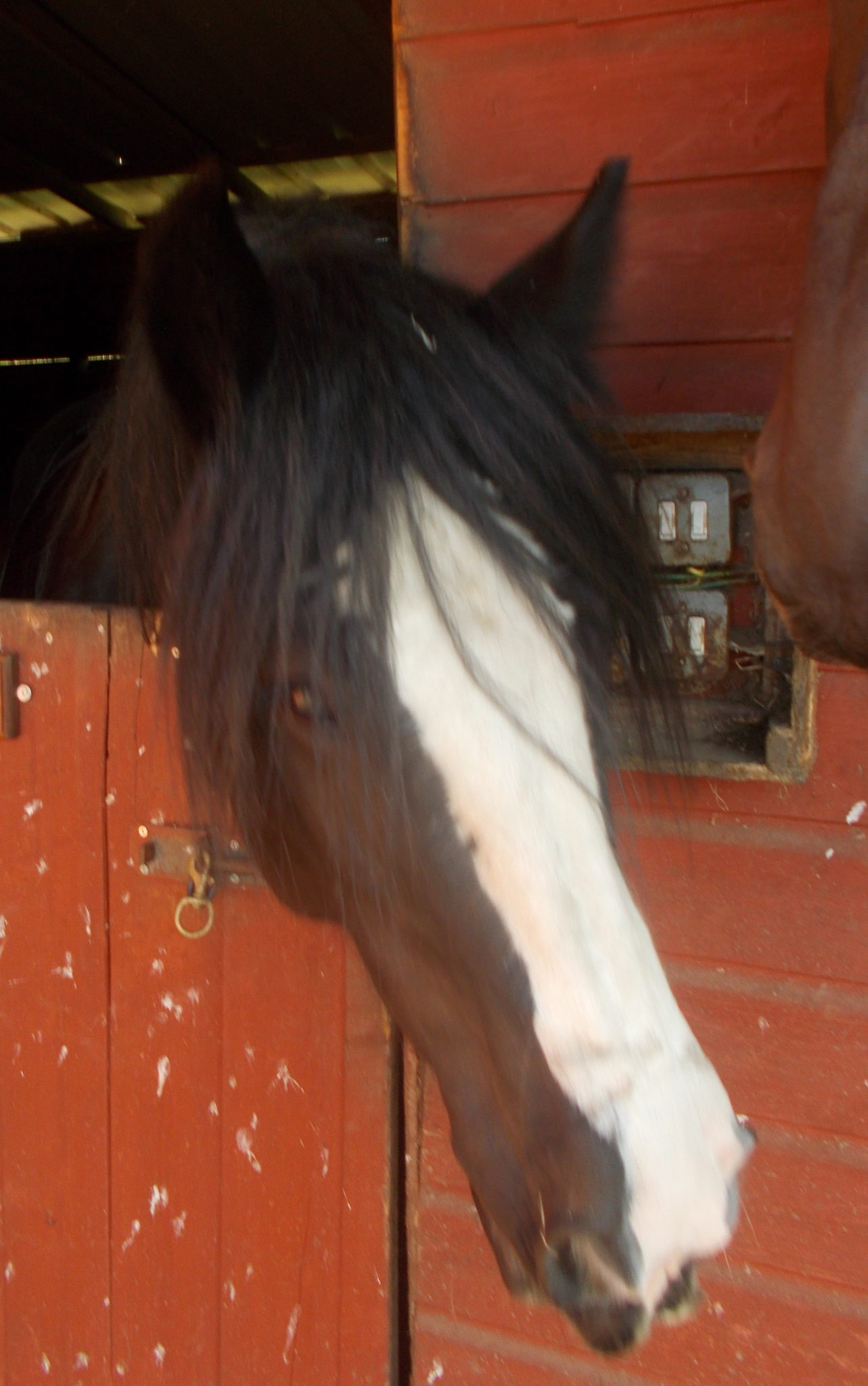 Traditional Cob Horse in Stable