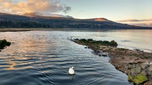 Single Swan in Brodick Bay, Isle of Arran