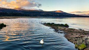 Solitary Swan, Brodick Bay, Arran