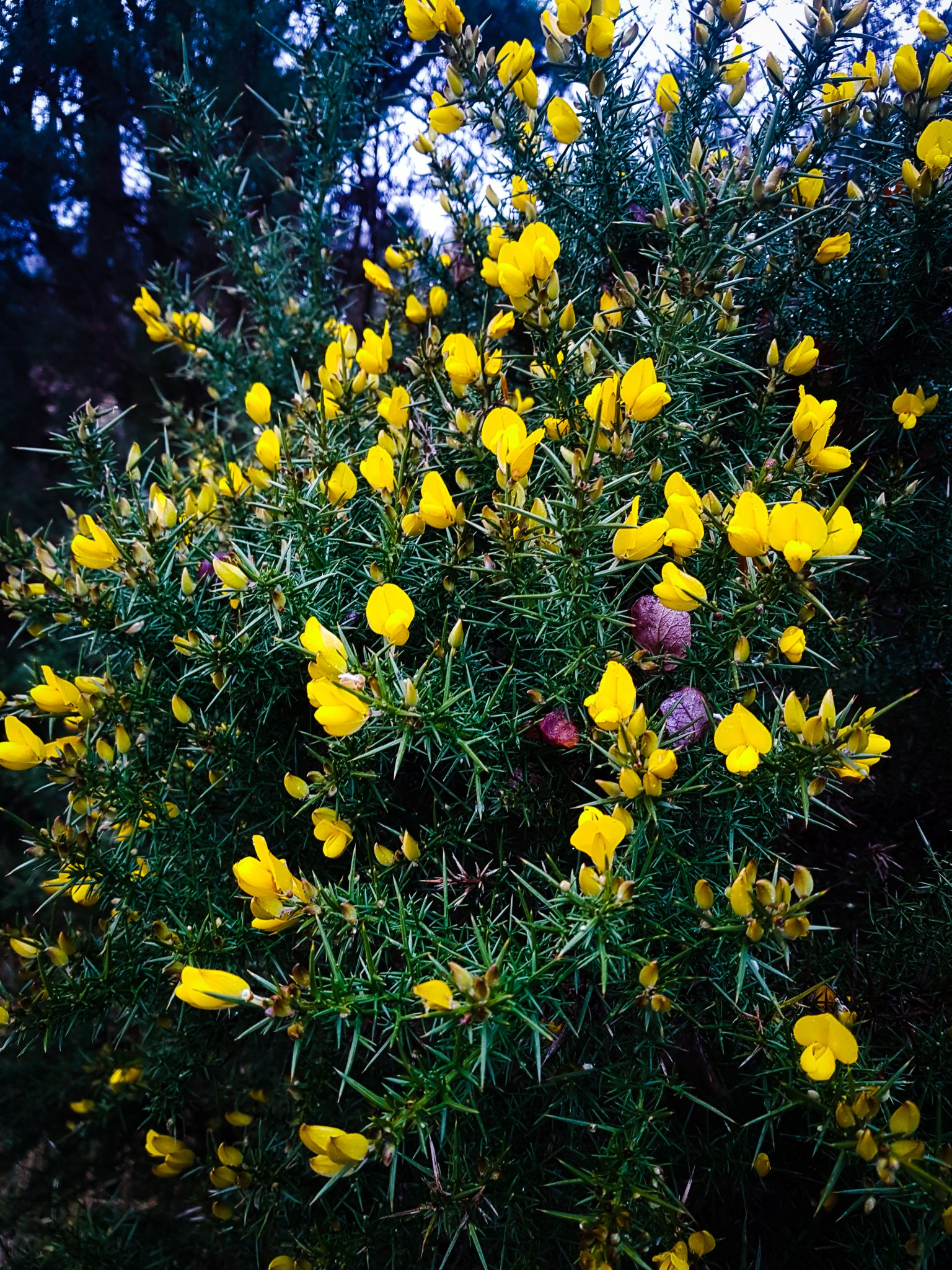 Scottish Gorse in Bloom near Bracklinn, Callander