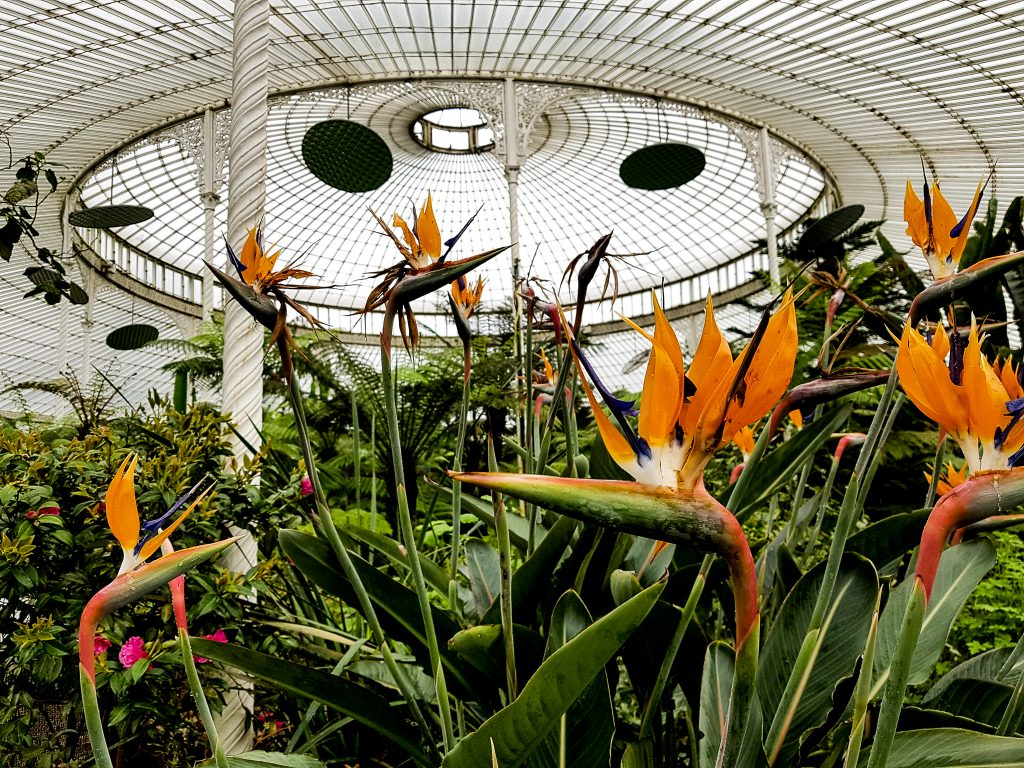 Glasgow Botanic Gardens Kibble Palace Bird of Paradise Flower
