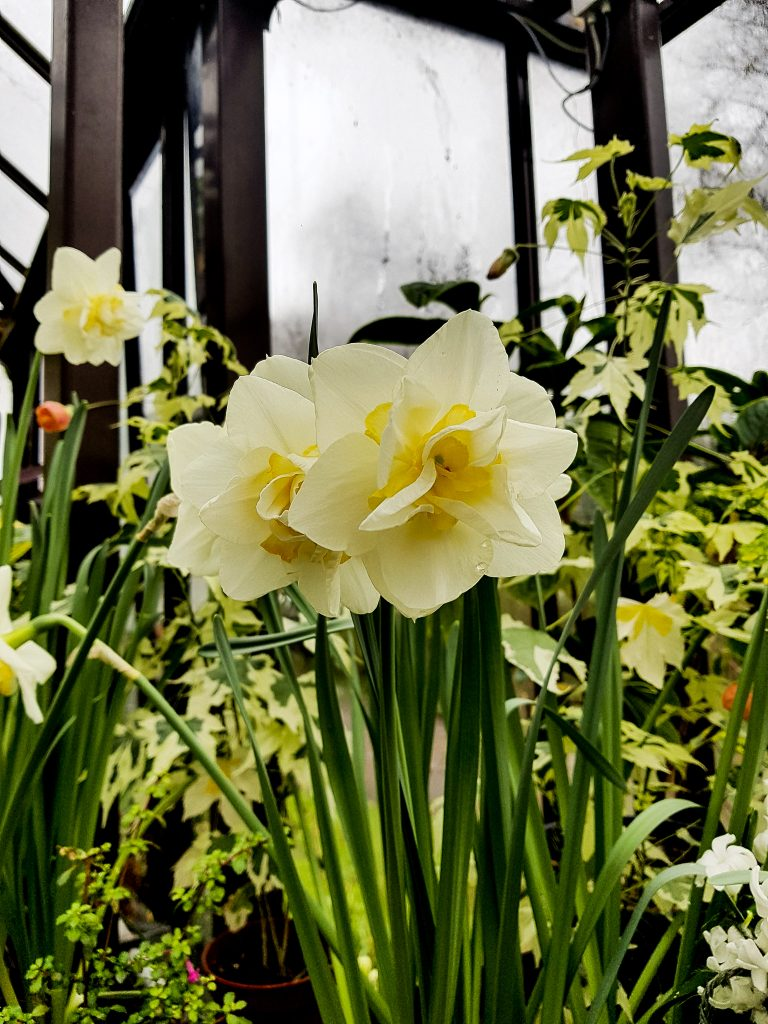 Glasgow Botanic Gardens Daffodils